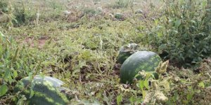 Konya'da karpuz hasadı başladı