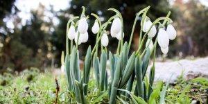 Toroslar'da baharın müjdesi kardelenler çiçek açtı