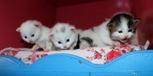 2020 yılının ilk Van kedileri dünyaya geldi