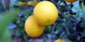 Limon ihracatı Tarım ve Orman Bakanlığının iznine tabi