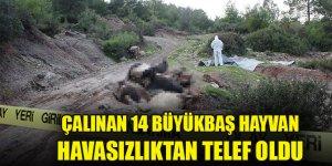 Konya'dan çalınıp Osmaniye'ye getirilmek istenen 14 büyükbaş hayvan telef oldu
