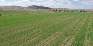 Sivas'ta zeron buğdayı üretimi yaygınlaştırılacak