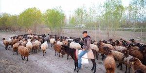 Iğdır'da çobanların mesaisi başladı