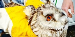 Konya'da yaralı olarak bulunan baykuş ve bıldırcın kılavuzu koruma altına alındı