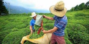 Rize'ye çay toplamak için gelecek yaklaşık 20 bin kişi için önlemler alındı