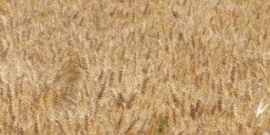 Yunak'ta sezonun ilk arpa hasadı yapıldı