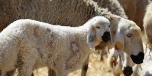 Küçükbaş hayvan sayısı 55 milyonu aştı