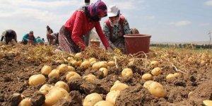 Çorum'da patates hasadı başladı