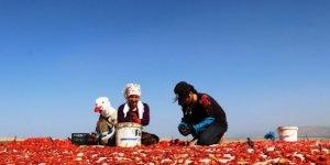 Bitlis'te domatesten 230 milyon TL gelir elde edilecek