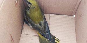 Yaralı bulunan sarı asma kuşu tedavi altına alındı