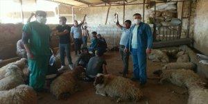 Şanlıurfa'da zehirli ot yiyen 150 koyun telef oldu
