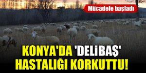 Konya'da 'delibaş' hastalığı korkuttu! Mücadele başladı