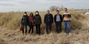 Karapınar'da erozyonla mücadele için yetiştirilen bitkiler, Aksaray'da ekilecek