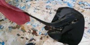 Nesli tehlike altındaki mor vatoz, oltaya takıldı