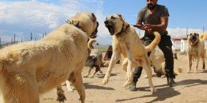 Dünyaca ünlü Kangal köpekleri o ildeki cezaevlerini koruyacak