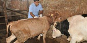 Hayvanı şarbon hastalığına yakalanan çiftçiye tazminat ödenecek