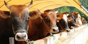 Konya'da kurbanlık hayvanların canlı kilogram fiyatları belirlendi
