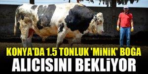 Konya'da 1.5 tonluk 'minik' boğa alıcısını bekliyor