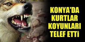 Konya'da kurtlar koyunları telef etti