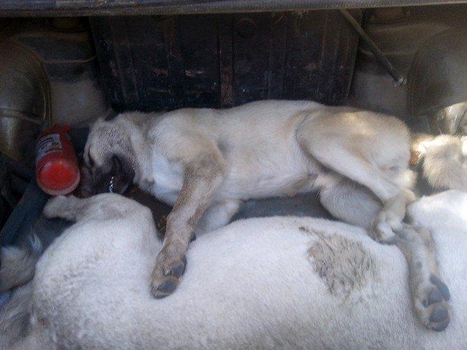 Kangal cinsi köpeklerin zehirlendiği iddia edildi