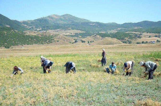 Türkiye Komünist Partili belediyede hasat vakti