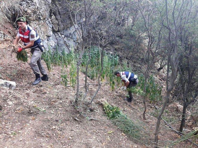 Ormanlık alanda Bin kök kenevir ele geçirildi