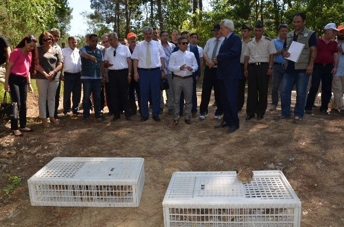Sinop'ta 200 sülün doğaya salındı