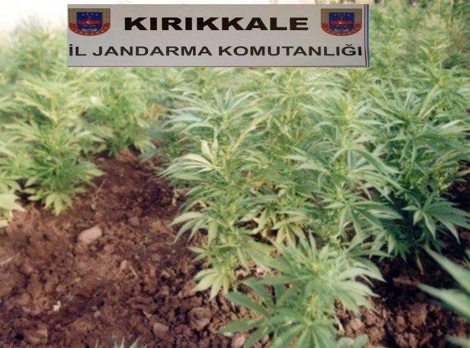 Sulakyurt'ta 3 bin 585 kök kenevir bitkisi ele geçirildi