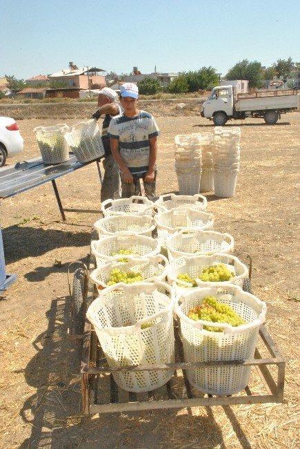 Saruhanlı'da üzüm hasadı başladı