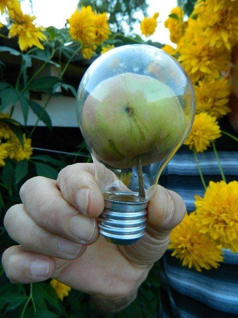 Elektrik ampulünde elma yetiştirdi