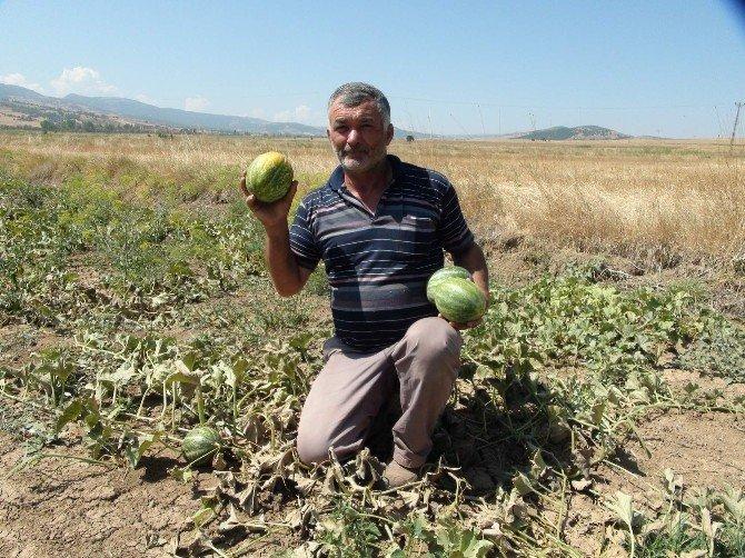 Yozgat'ta yetişen muz tadındaki kavunun hasadı başladı