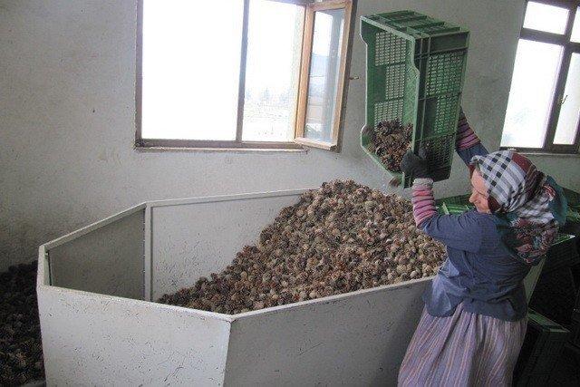 Kozalaklardan tohum üretimi