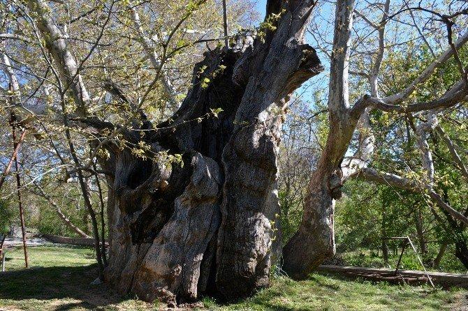 Tarihe tanıklık eden bin 200 yıllık ağaç bakıma alındı