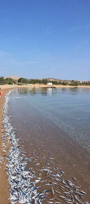 Bozcaada'da sahile vuran yüzlerce balık korkuttu