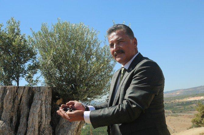 8 asırlık zeytin ağacı ilk meyvesini verdi