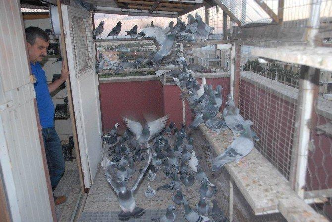 Teknoloji gelişti, posta güvercinleri unutuldu