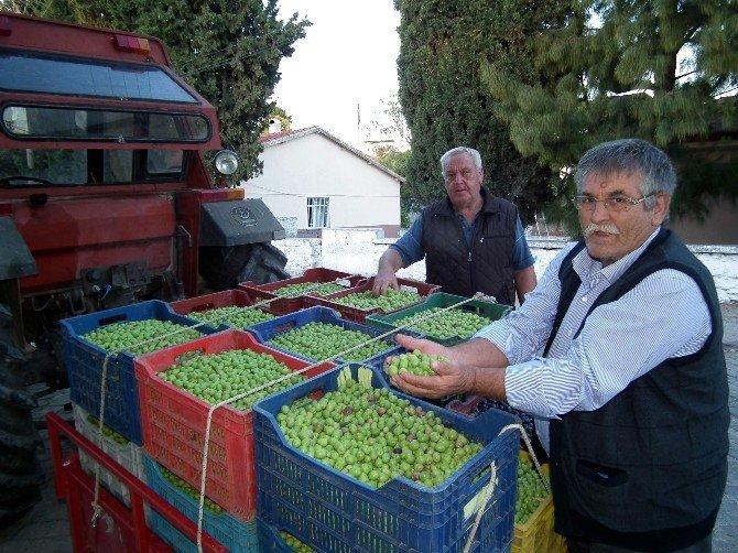 Aydın'da kırma zeytin hasadı başladı