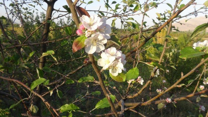 Doğanşehir'de ağaçlar çiçek açtı