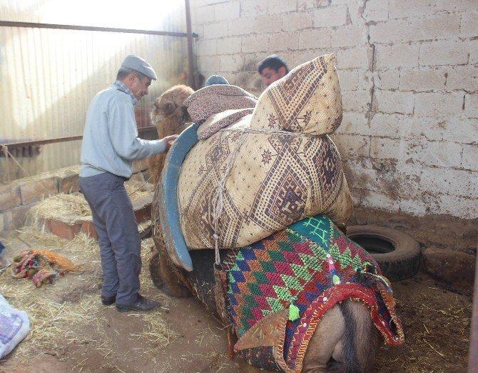 Aydın'da develere törenle havutları giydirildi