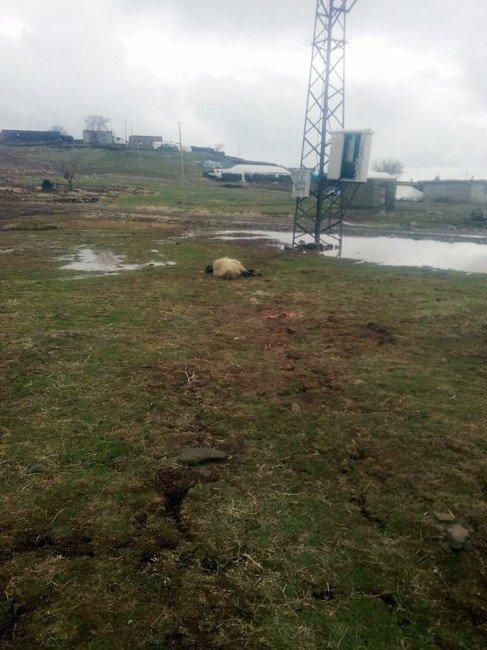 Elektrik akımına kapılan koyunlar telef oldu