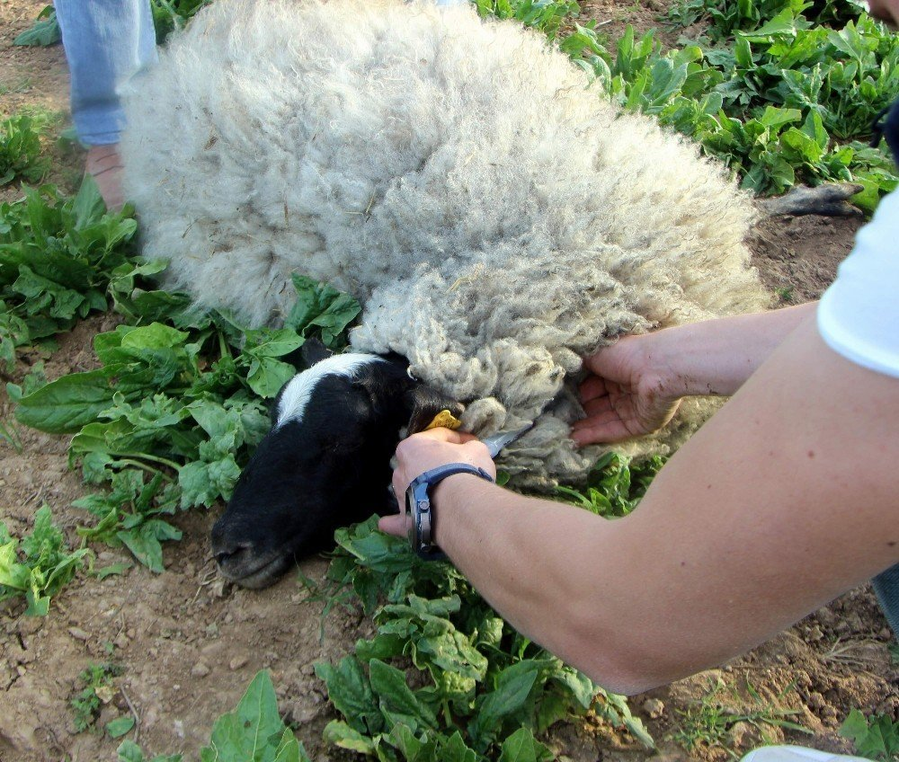 Bursalı çobandan ilginç buluş