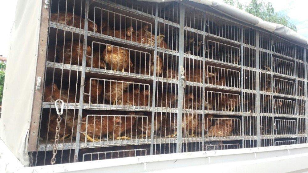 Çiftçilere koli koli tavuk dağıtıldı