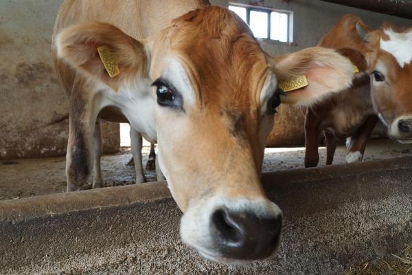 Hacıince: Et fiyatında istikrar için yerli üretime destek zorunludur