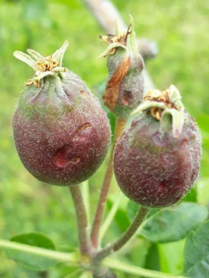 Isparta'da meyve bahçelerini dolu vurdu