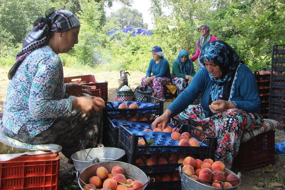Bursa'da şeftali hasadı ve fiyatları yüzleri güldürdü