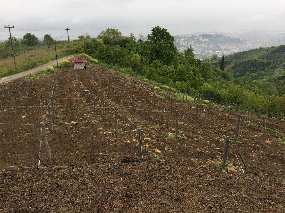 Büyükşehir'den Kocaeli'de kivi üretimine destek