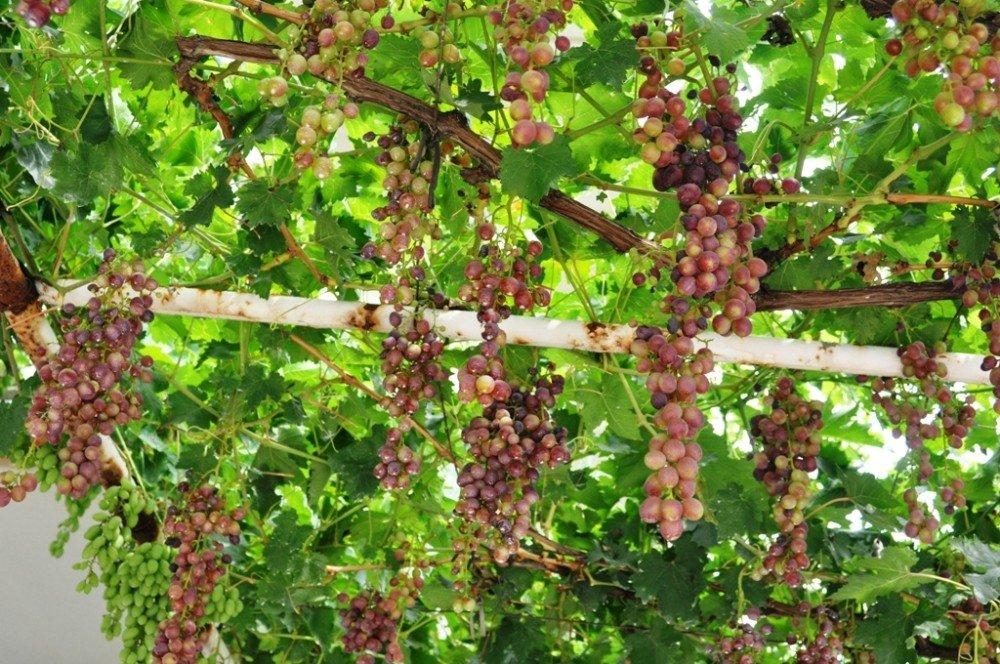 Sarıgöl'de haziran üzümü ilgi gördü