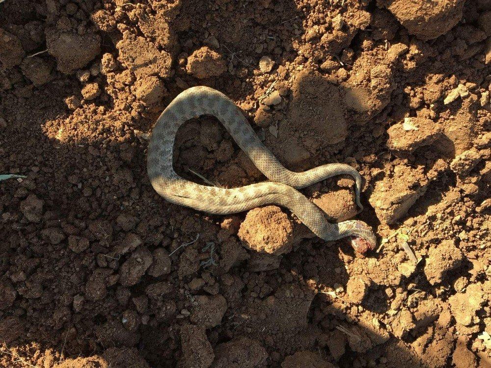 Köylülerin yılan tedirginliği