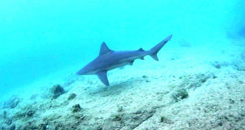 Ege Denizi'nde görülen köpek balıklarının sırrı ortaya çıktı