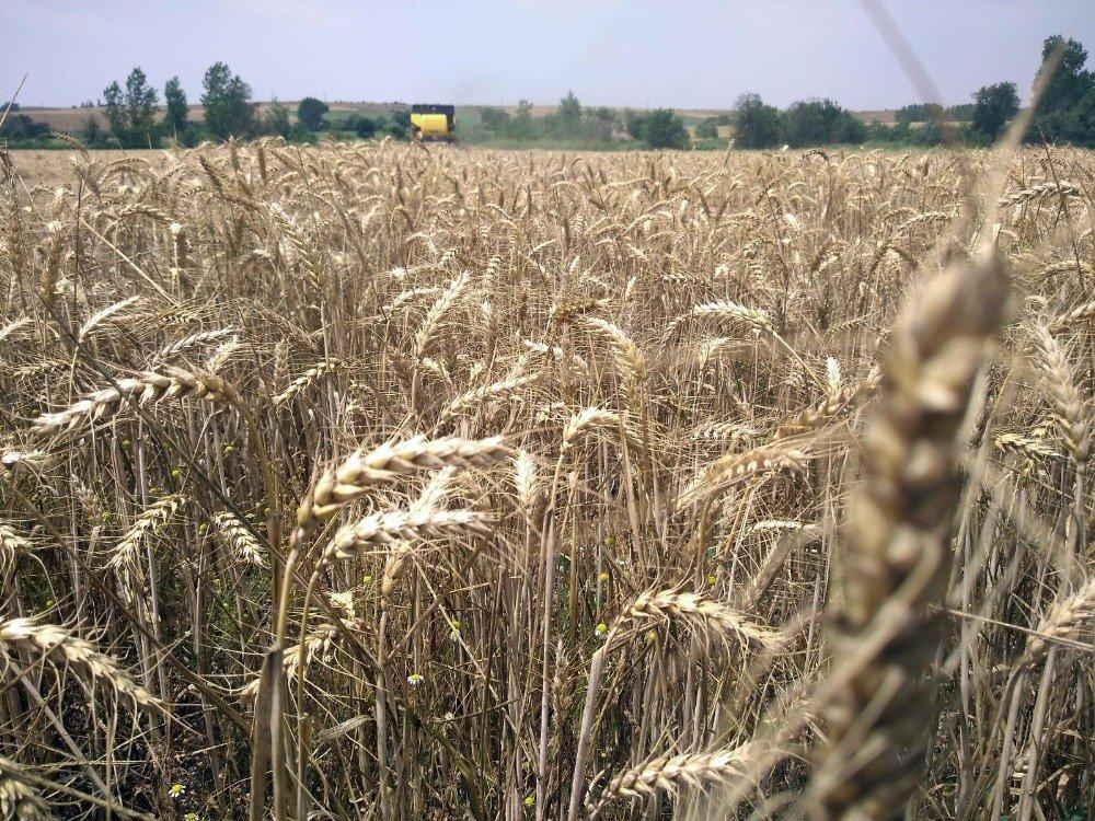 Edirne'de buğday veriminde geçen yıla göre ciddi düşüş yaşanıyor